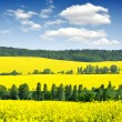 Rapeseed field — Stock Photo #29276827