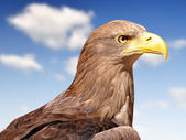 Sea eagle — Foto Stock