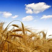 Golden barley — Stock Photo