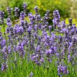 lavender — Stock Photo