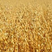 Oats field — Stock Photo