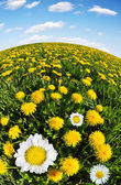 Dandelions with daisies — Stock Photo
