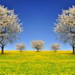 Blooming cherry trees  — Stock Photo