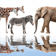 Giraffe, elephant and zebra — Stock Photo
