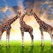 Herd of giraffes — Stock Photo