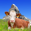 Stock Photo: Cow in Swiss Alps