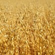Stock Photo: Oats field