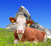 Cow in the Swiss Alps — Stock Photo