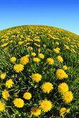 Dandelions in the meadow — Stock Photo