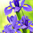 Purple iris flower — Stock Photo #32166977