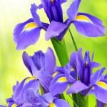 Purple iris flower — Stock Photo #32166977