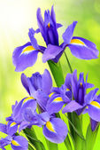 Purple iris flower — Stockfoto