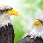 Bald Eagle — Stock Photo #32452129