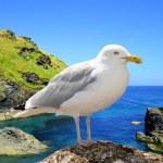 Seagull — Stock Photo #32867279