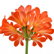 Orange Clivia miniata — Stock Photo