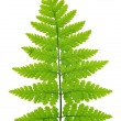 Fern — Stock Photo #34288005