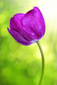 Purple tulip — Stock Photo