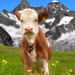 Cow on the meadow — Stok fotoğraf