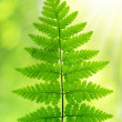 Fern — Stock Photo #34733585