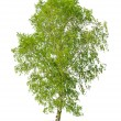 Birch tree — Stock Photo #34923839