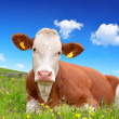 Cow in the grass — Stock Photo