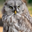 great gray owl — Stock Photo