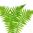 Fern — Stock Photo #35892755