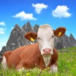 Cow in the meadow — Stockfoto