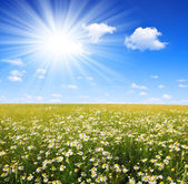 Field of marguerites — Stock Photo