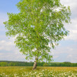 Birch tree — Stock Photo #36114361
