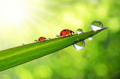 Dew and ladybirds — 图库照片