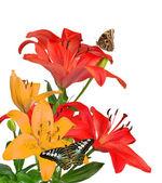 Lilie mit schmetterlinge — Stockfoto