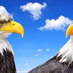 Bald Eagle — Stock Photo #36802611
