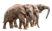 African elephants — Foto Stock
