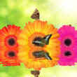 Gerberas with butterflies  — Stock Photo