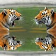 Siberian Tigers — Stock Photo