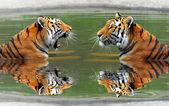 Siberian Tigers — Stock Photo
