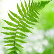 Fern — Stock Photo #37731079