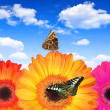 Gerberas flowers with butterflies — Stock Photo
