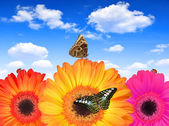 Gerberas flowers with butterflies — Stockfoto