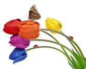Colorful dewy tulips with butterfly and ladybugs — Stock Photo