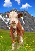 Koeien op de weide — Stockfoto
