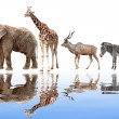 Giraffe,elephant,kudu and zebra — Stock Photo