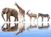 Giraffe,elephant,kudu and zebra — Photo