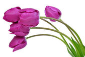 Dewy purple tulips — Stock Photo