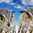 Eagle Owl — Stock Photo #38867585