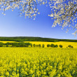Rapeseed field — Stock Photo #38867987