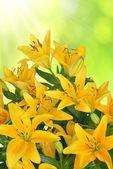 Lírio amarelo — Fotografia Stock