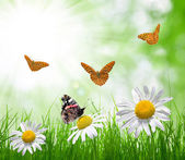 Daisies and butterflies on meadow — Stock Photo