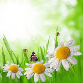 Dewy green grass with daisies — Stock Photo